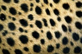 Pelo di un ghepardo in Namibia.